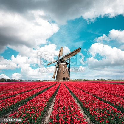 Beautiful red tulip field in the Netherlands with traditional windmill.