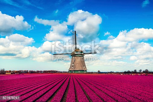 istock Colorful Tulip Fields in front of a Traditional Dutch Windmill 521975241