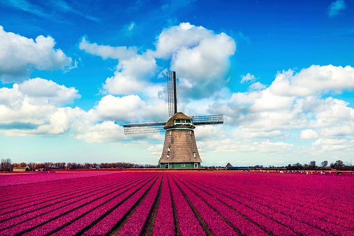 Colorful Tulip Fields in front of a Traditional Dutch Windmill. Visible are amazing blue sky, dramatic cloudscape over the purple tulip fields in spring. The Netherlands