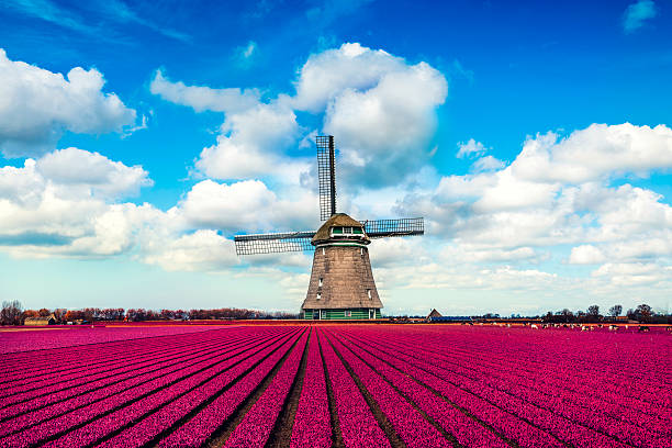 Colorful Tulip Fields in front of a Traditional Dutch Windmill Colorful Tulip Fields in front of a Traditional Dutch Windmill. Visible are amazing blue sky, dramatic cloudscape over the purple tulip fields in spring. The Netherlands saturated color stock pictures, royalty-free photos & images