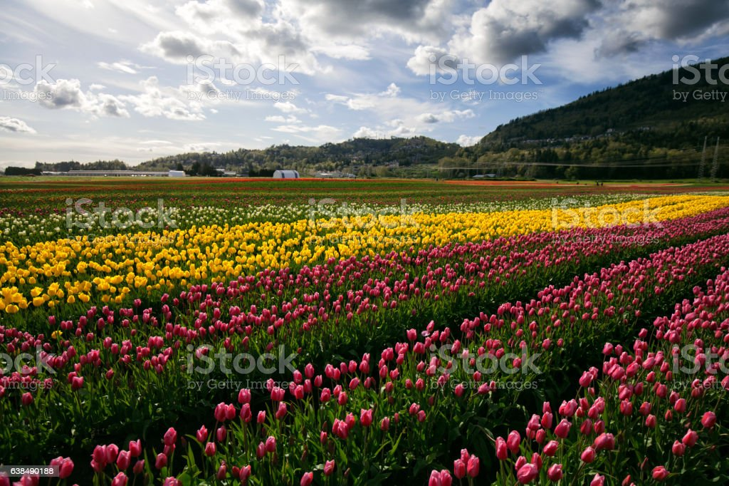 Colorful tulip fields in valley, BC, Canada stock photo