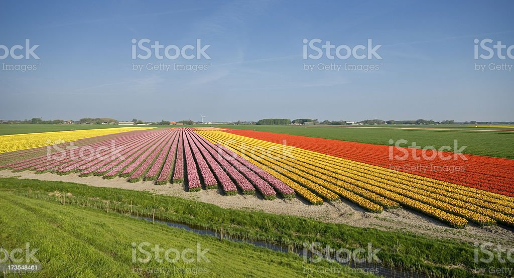Colorful Tulip Fields royalty-free stock photo
