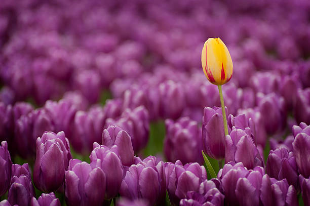 Colorful Tulip Fields stock photo