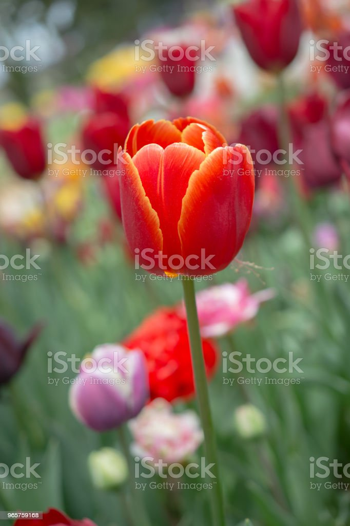 Colorful tulip flower bloom in the garden - Royalty-free Abstract Stock Photo