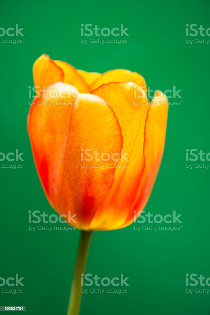 Colorful tulip flower bloom with a colorful background - Royalty-free Abstract Stock Photo