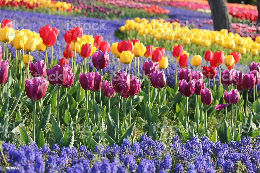 Colorful tulip flower field royalty-free stock photo