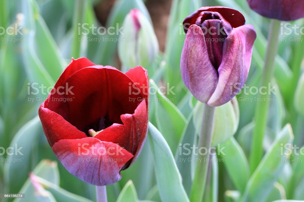 Colorful tulip flower, Tulip flower and green leaves background with sunlight. Beautiful tulip flower in the garden at sunny summer or spring day. foto stock royalty-free