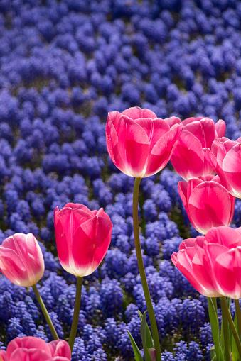 Kleurrijke Tulp Bloemen Bloeien In De Tuin Stockfoto en meer beelden van Abstract