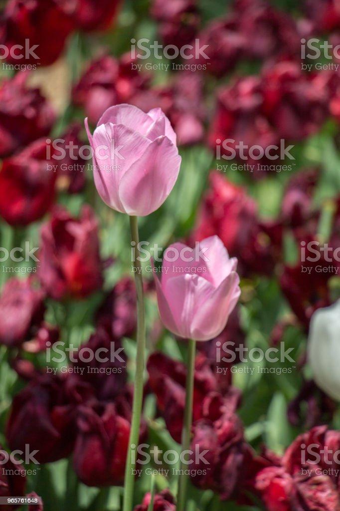 Kleurrijke tulp bloemen bloeien in de tuin - Royalty-free Abstract Stockfoto