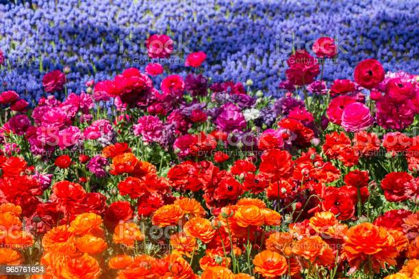 Colorful Tulip Flowers Bloom In The Garden Stock Photo - Download Image Now