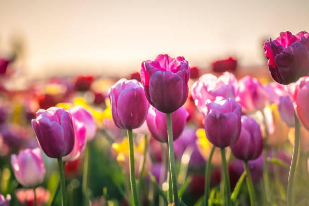 Kleurrijke tulp bloemen variëteit in een veld tijdens de lente zonsondergang in Nederland foto
