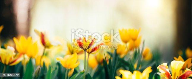Garden full of beautiful yellow and red tulips. Panoramic view.