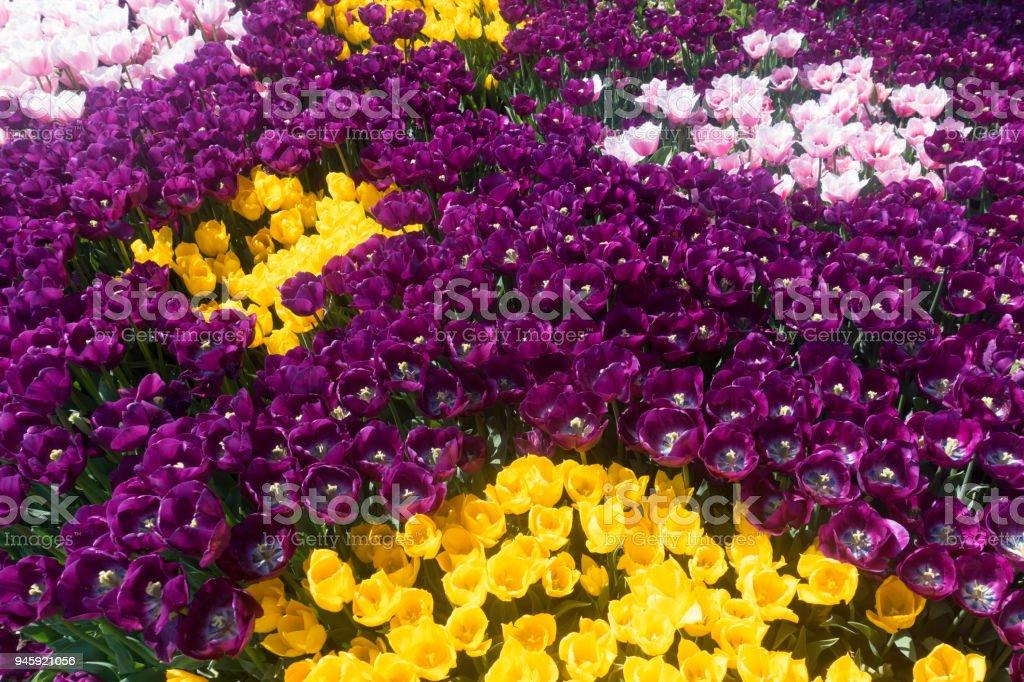 Colorful Tulip Garden stock photo