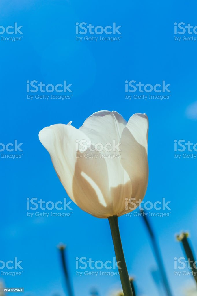 colorful tulip, tulip in spring foto stock royalty-free