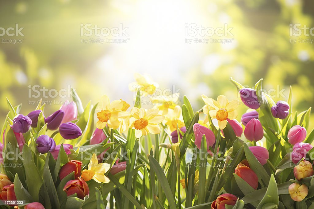 Colorful tulips  and daffodils on nature background royalty-free stock photo