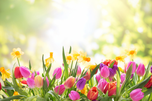Colorful tulips  and daffodils on nature background