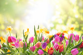istock Colorful tulips  and daffodils on nature background 172389166