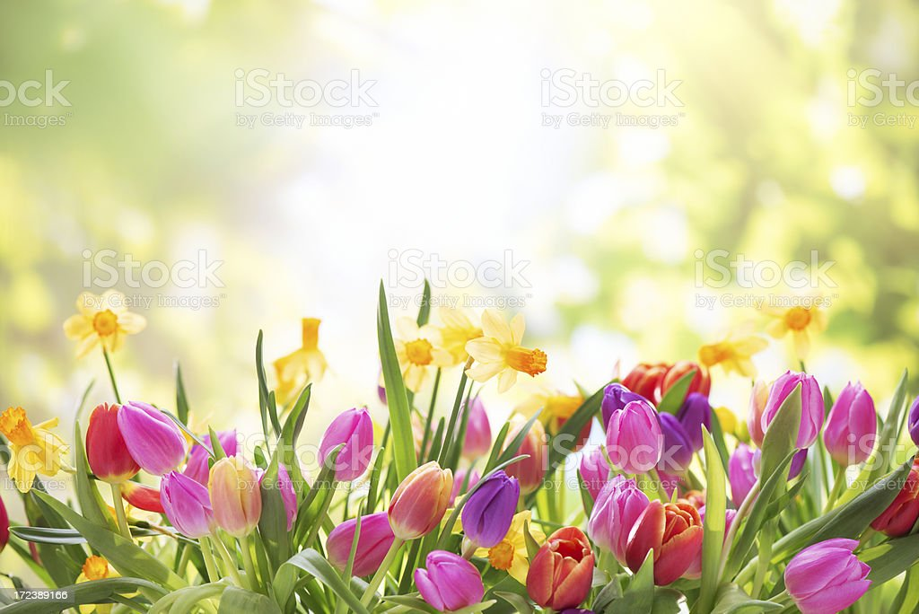 Colorful tulips  and daffodils on nature background stock photo