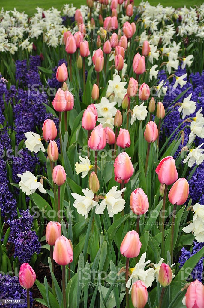 Colorful tulips and hyacinths royalty-free stock photo