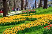 Huge tulip bed at Dallas Arboretum.