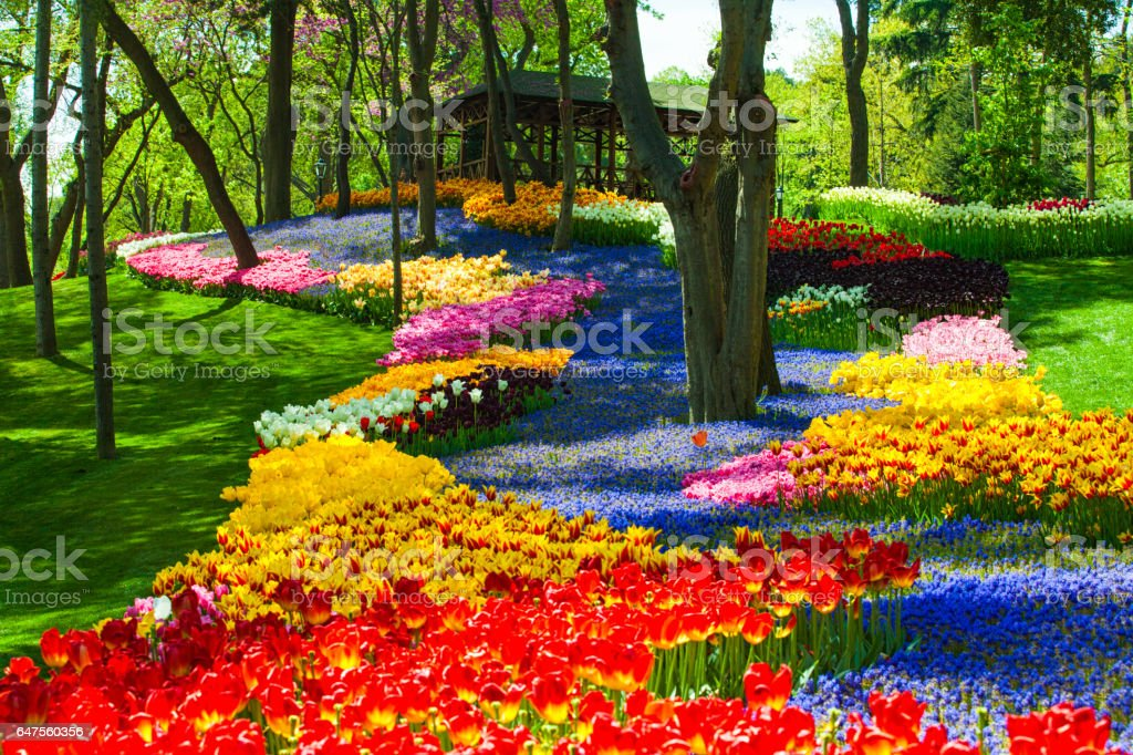 Colorful tulips and lavenders in a park stock photo