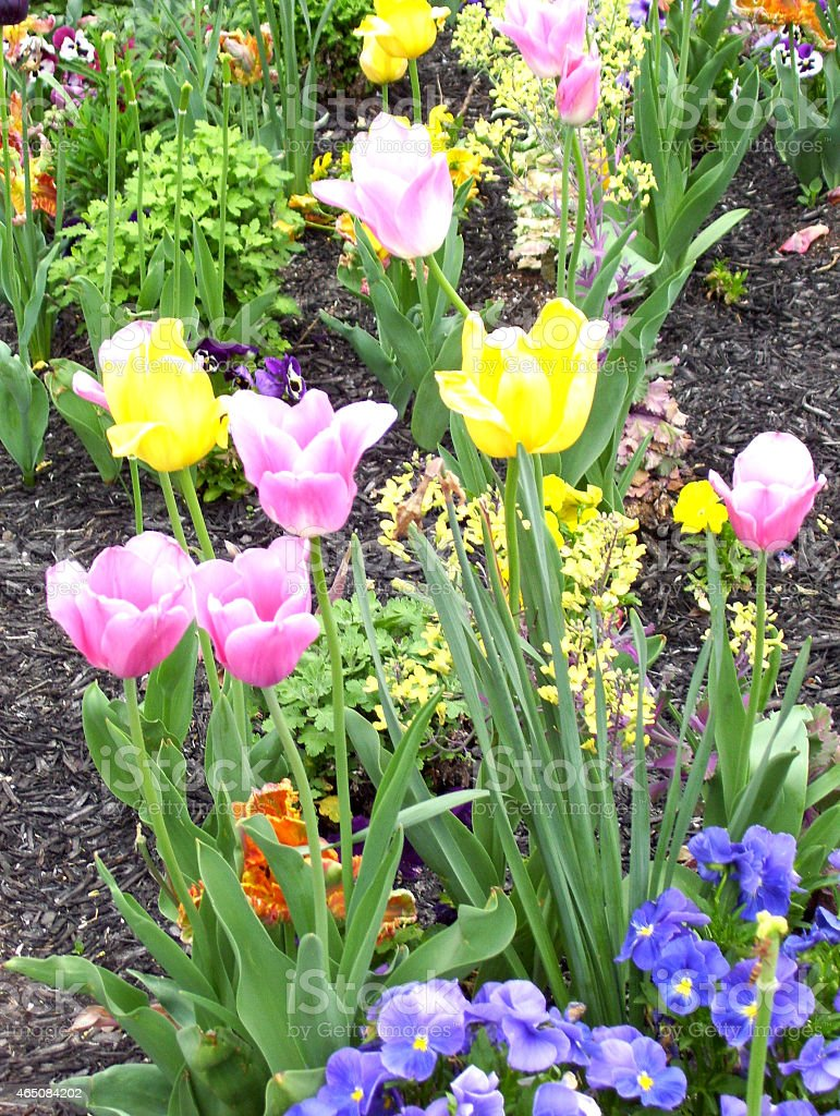 Colorful Tulips and Pansies in a Garden stock photo
