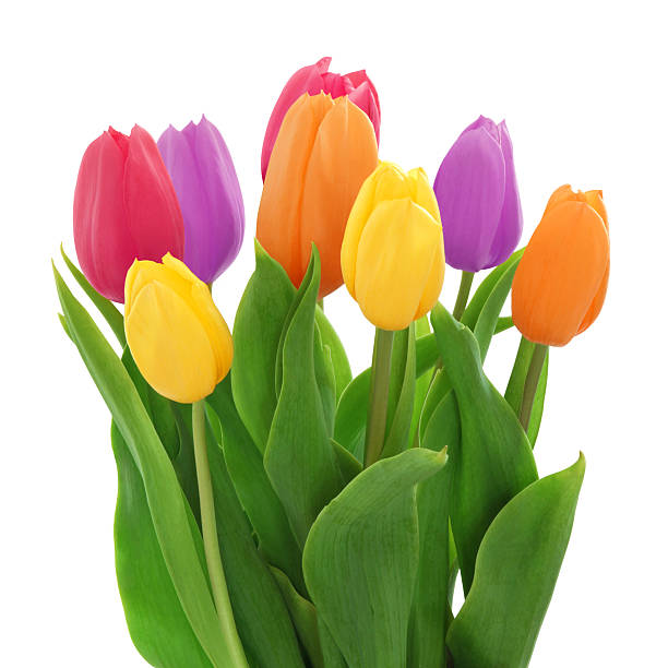 Colorful Tulips Bouquet (with path) stock photo