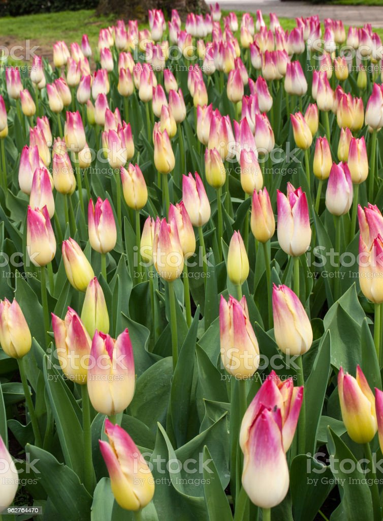 Colorful Tulips Flowers Blooming In A Garden Stock Photo & More ...