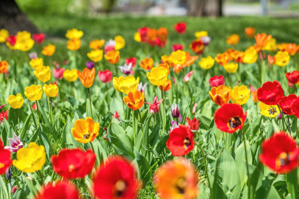 Colorful Tulips Flowers Blooming in a Park close up. stock photo