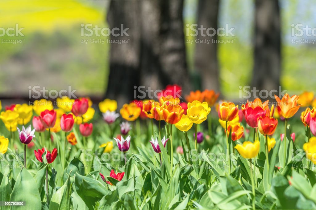 Colorful tulips flowers blooming in a park. stock photo