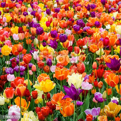 Colorful tulips in a flowerbed in springtime, Netherlands