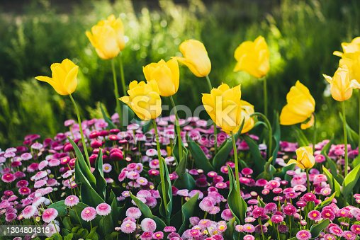 Colorful tulips in flowerbed stock photo. Spring garden background.