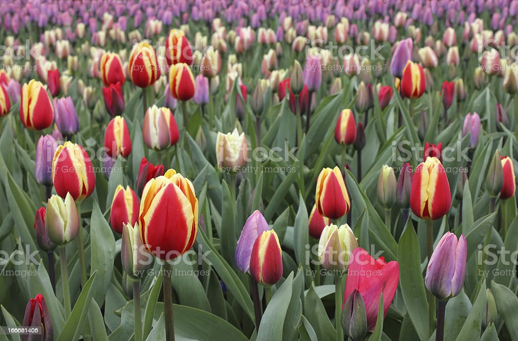 Colorful Tulips in Keukenhof Gardens royalty-free stock photo