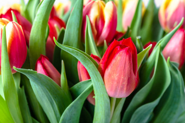 Colorful tulips in the garden. Spring tulip background. stock photo