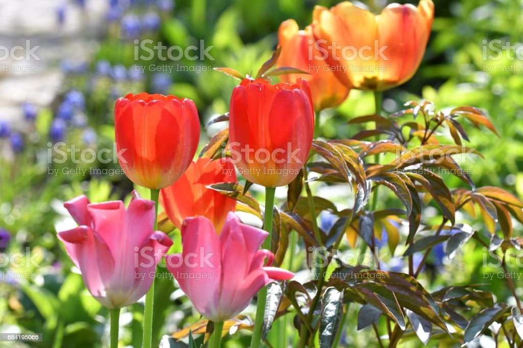 Colorful tulips in the spring royalty-free stock photo