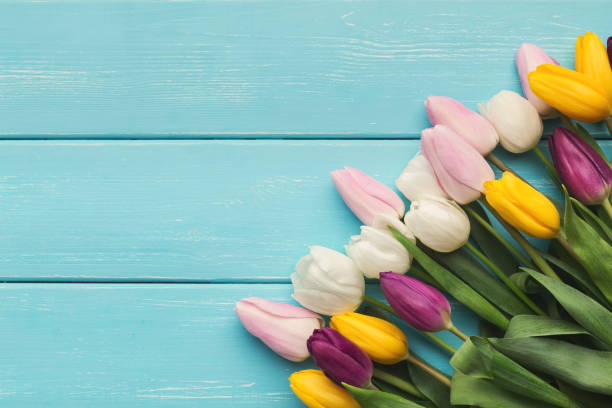 colorful tulips on blue wooden background, top view - welcome march stock photos and pictures