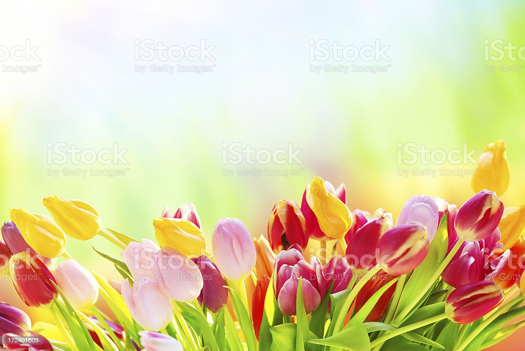 Colorful tulips on nature background royalty-free stock photo