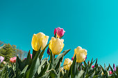 Colorful tulips blooming in the garden.