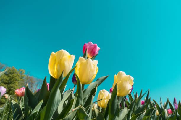 五顏六色的鬱金香 - 在開花 個照片及圖片檔