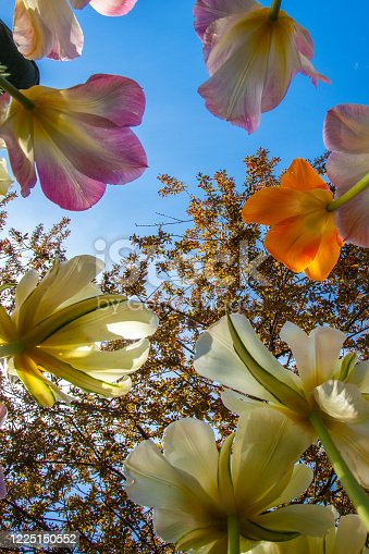 Looking up at colorful tulips against a blue sky and a crab apple tree