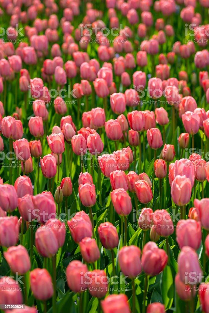 colorful tulips foto de stock royalty-free