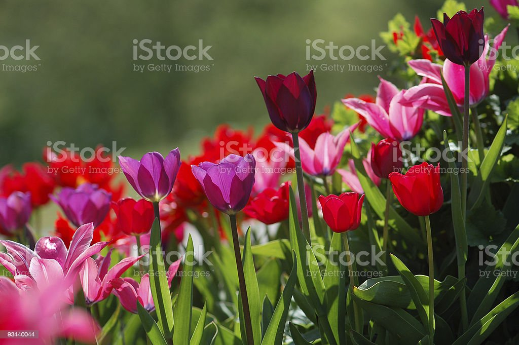 Bunte Tulpen Lizenzfreies stock-foto