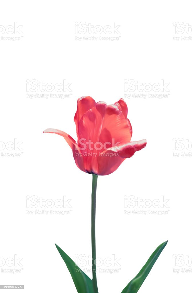 Colorful tulips, tulips in spring. royalty-free stock photo