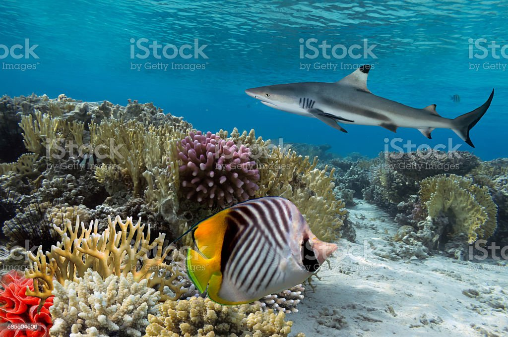 Colorful underwater coral reef with yellow stripped fish and big stock photo