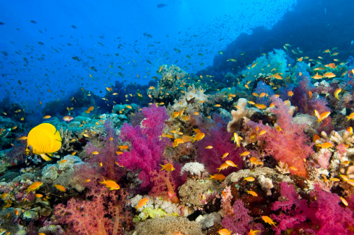 Colorful underwater image of sea life at the Red Sea reef