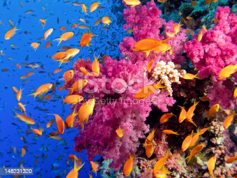 Reddish soft coral with Anthias fish colony