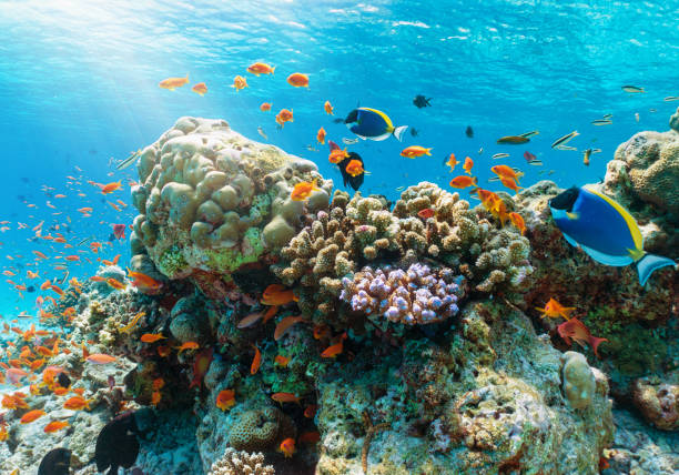 Colorful underwater reef with tropical fishes in the Indian Ocean Colorful underwater reef with tropical fishes in the Indian Ocean, Maldives undersea stock pictures, royalty-free photos & images