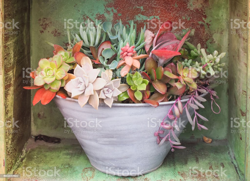 Colorful variety of Asclepiadaceae in the pot royalty-free stock photo