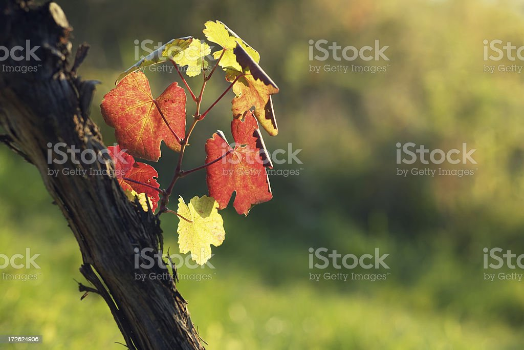 colorful vine leaves royalty-free stock photo
