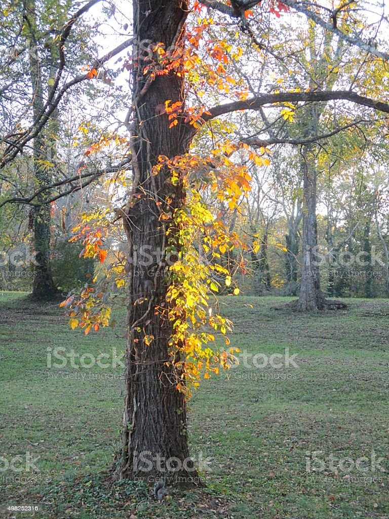 Colorful Vines, Growing on a Tree in Autumn stock photo
